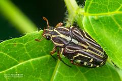 Flower chafer beetle (Taeniodera monacha) - DSC_5395 (nickybay) Tags: flower macro singapore beetle chafer monacha cetoniidae venusdrive taeniodera venusloop