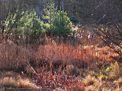 Shimmering Sunlight On The Cattails (joyolsonnichols) Tags: november autumn trees plants usa sunlight painterly color tree fall nature beautiful beauty reeds landscape outdoors photography colorful jay artistic fineart joy maine relaxing scenic vivid scene calm cattails pines swamp evergreens grasses serene backlit sunlit bushes homedecor shimmering wetland nichols bullrushes olson manipulatedphotography officedecor franklincounty joynichols joynicholsartworkandphotography joynicholsartistwebsitescom shimmeringsunlightonthecattails