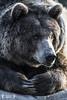 Bear (Crowley Groot) Tags: bear animal fauna zoo oso colours shot colores airelibre osos mamífero osopardo canon7dmarkii