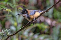 Eastern Spinebill 2015-11-28 (_MG_4411) (ajhaysom) Tags: australia melbourne australianbirds toolangi easternspinebill acanthorhynchustenuirostris canoneos6d sigma150600