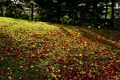 Red increases (usotuki) Tags: green nature ginkgo maple autumnleaves autumncolors vegetation        yokohamasankeiengarden pentaxk7 smcpentaxfa28mmf28al