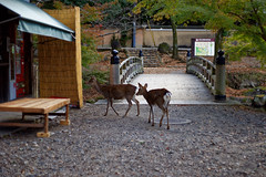 NARA (gasdust) Tags: sony 秋 nara 奈良 奈良公園 a99 sal135f18za slta99v