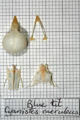 BlueTit (JRochester) Tags: blue skeleton skull bones bone pelvis caeruleus sternum mandible cyanistes
