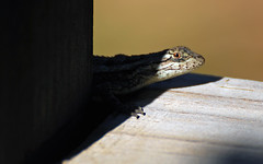 Out of the Shadows (TomSales) Tags: nikon d40x tamron 70300mm vc shadows lizard reptile shadow light dark herp herpetology animal nature texas hill country tomsales darkness wow
