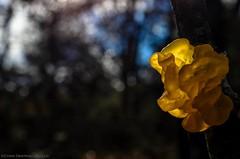 The yellow thing (s1nano) Tags: nature mushroom yellow forest woods dof bokeh fungi fungus jelly foret fungo deepinthewoods jellyfungi tremellalutescens nikond7000 micronikkorafs40mm128g mushroominnature