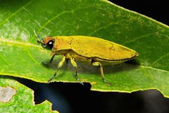 Buprestid Jewel Beetle (Philocteanus cf. moricii, Buprestidae) (John Horstman (itchydogimages, SINOBUG)) Tags: china macro topf25 insect beetle yunnan jewel coleoptera buprestidae itchydogimages sinobug