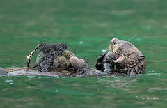 A Feast -- 2 of 3 (Rick Derevan) Tags: alaska kodiak otter seaotter enhyrdalutris kodiak2016 kodiaktrip2016 places