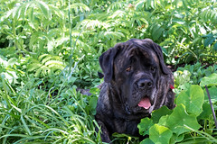 English Mastiff - Rosie (Stephen_Beaumont) Tags: englishmastiff alrufarm rosie opengardens
