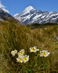 Mount Cook Lilies (Kristin Repsher) Tags: camera canterbury df flowers hiking hookervalley lily mountcook mountcooklily muellerglacierlake newzealand nikon nz southisland southernalps tramping