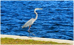 Northshore Park - St Petersburg, FloridaDSC_9831 (lagergrenjan) Tags: northshore park st petersburg florida tampa bay bird