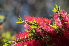 Bottlebrush in springtime (Merrillie) Tags: bottlebrush nsw bush australia nswcentralcoast centralcoastnsw flowers nature gardens flora outdoors flower callistemon centralcoast newsouthwales red