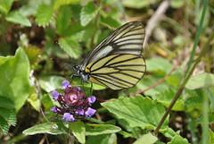 Aporia bieti Mianning County June 2016 (Aidehua2013) Tags: insect pieridae lepidoptera butterfly invertebrate mianningcounty sichuan china bieti pierini aporia