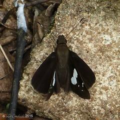 Restricted demon (LPJC) Tags: butterfly munnar kerala india 2015 lpjc restricteddemon skipper notocryptacurvifascia