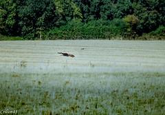 Il y a une proie en vue... (Crilion43) Tags: arbres france vreaux divers paysage oiseaux champ centre epervier canon herbe tamron 1200d cher objectif bleue charbonnire maison msange nature pr rflex sapin thuya