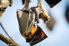 Hanging out with mum (Erwin J) Tags: bat flyingfox greyheaded mammal melbourne victoria yarrabend