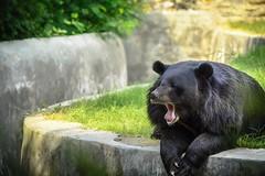 Lazy bear on a lazy weekend !!! (gauravsingh_rf) Tags: wild hairy cute save animal lazy weekend delhi zoo 55300 photography d5200 nikon bear
