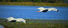 Ibis in flight (Tim Sells) Tags: lakeland florida nikon nikon3200 bird ibis lakeparker flight flying aquaticbird wadingbird timsells