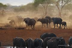DSC_1477 (cabano-82) Tags: buffalo savana kenya herd nikond60 animal