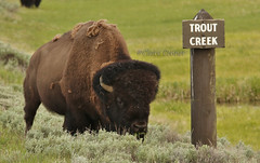Bison (claire.con) Tags: yellowstonepics yellowstonewildlife yellowstone bison fantasticanimals wildanimals yellowstonenp greatoutdoors wildlife animals