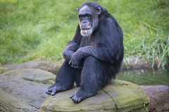 Chimpanse (DeanB Photography) Tags: erlebniszoo hannover 16102016 affe augen affen tier tiere zoo