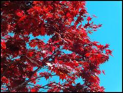 Acero in primavera (ninin 50) Tags: acero primavera nature ninin ilmiogiardino