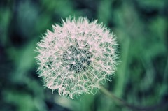Zauberei (***étoile filante***) Tags: dandelion dandelionseeds pusteblume flower blume macro dof bokeh details poetic poetisch