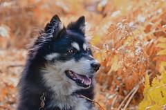 autumn bracken 43/52 (sure2talk) Tags: autumnbracken taivas finnishlapphund gold rust portrait nikond7000 nikkor50mmf14gafs we23102016 52weeksfordogs 4352
