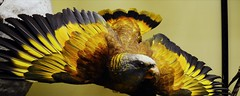 Vincent's Gold (dhcomet) Tags: nhm animals birds stuffed tring museum herts hertfordshire fauna rothschild parrot taxidermy stvincentamazon rare bird exotic