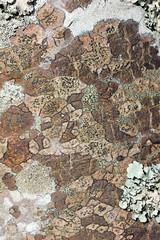 Carbis Bay Lichen! (RiverCrouchWalker) Tags: lichen carbisbay cornwall september autumn 2016 tree lichencommunities