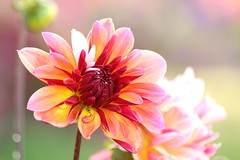 Dahlia - Explored - Oct 18th, 2016 (Sandra_Gilchrist) Tags: sandragilchrist dahlia flower summer bokeh shallowfocus pink yellow white green dreamy flowers