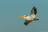 Riding the wind... (Wideangle55) Tags: 600mm sanjoaquinmarsh wildlifesanctuary sanjoaquinmarshwildlifesanctuary wideangle55 nikon d800 colors birds red yellow 14teleconverter pelican americanwhitepelican whitepelican blue
