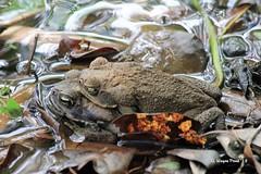 Cane Toad (Rhinella marina) (Gerald (Wayne) Prout) Tags: canetoad rhinellamarina animalia chordata amphibia anura bufonidae rhinella mating tjapukaiaboriginalculturalpark smithfield queensland australia prout geraldwayneprout canon canoneos60d cane toad tjapukai aboriginal cultural park