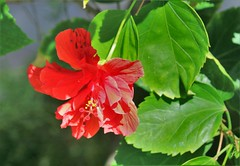 Hibiscus flower (joybidge (0n vacation)) Tags: trishcanada naturepatternscanada mauihawaii hibiscus redflowers