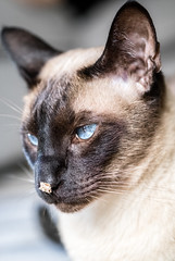 """Not funny!"" (csaba.kollar) Tags: cat pet indoor siamese mushu feline animal funny blue eyes"