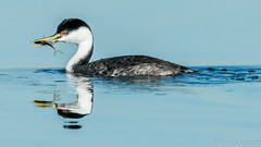 Snack time.... (Wideangle55) Tags: 600mm sanjoaquinmarsh wildlifesanctuary sanjoaquinmarshwildlifesanctuary wideangle55 nikon d800 colors birds 14teleconverter westerngrebe grebe