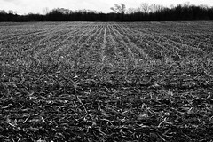 After the harvest (Chris Huddleston) Tags: field corn bw farm lines rows blackandwhite harvest