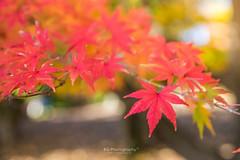 . (bgfotologue) Tags: 2015 500px autumn bgphoto carpet fbpage foliage gingko image imaging japan landscape maple momiji park photo photography redleaves showa showamemorialpark tokyo tumblr bellphoto