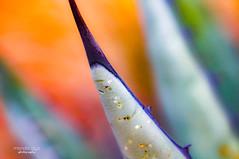 sweet colors ... (mariola aga) Tags: cactus closeup macro depthoffield blur bokeh bright abstract art pastel rainbow sweet colors thegalaxy