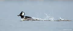 Catch me if you can (Chantal Jacques Photography) Tags: hooded merganser hoodedmerganser wildandfree catchmeifyoucan eel fish esquimaltlagoon