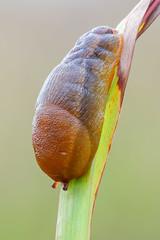 Egg shape slug (Sebastián J.L) Tags: tamron90mm canon 7dmk2 naturallight fieldstack focusstack zerene macrophotography macrofotografia macro mollusc mollusk mollusca gastropoda slug babosa