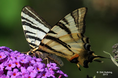 Scarce swallowtail 304678gb