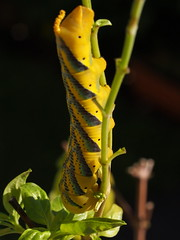 acherontia atropos (quarzonero ...Aldo A...) Tags: falena acherontiaatropos nature natura basilico moth basil coth coth5