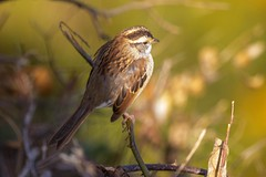 7K8A0705 (rpealit) Tags: scenery wildlife nature state line lookout whitethroated sparrow bird