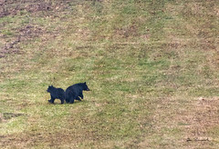 bear and 2 cubs-db pipeline (dfbphotos) Tags: nikon 2016 december tiogacounty fall wildlife bear dbcamp sabinsville places pipeline pa usa