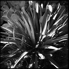 Cactus Garden (woody lauland) Tags: austin texas austintx atx tx eastaustin eastend cacti cactus garden nature blackandwhite monochrome