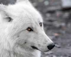 Arctic wolf (Soren Wolf) Tags: arctic wolf canine predator animal nature zoo olomouc nikon d7100 300mm looking