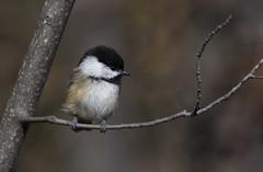 Chickadee (tsandra996) Tags: bird small wild nature natural wildlife animal
