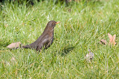 Mirlo Común ♀ (ik_kil) Tags: mirlocomún commonblackbird turdusmerula hydepark london birdsofengland birds turdus blackbird uk