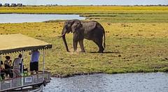 Elephant watching humans (werner boehm *) Tags: wernerboehm chobenp choberiver safari botswana africa elephant
