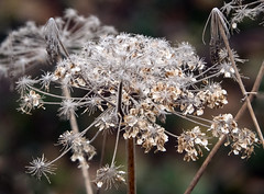 Starburst. (S.K.1963) Tags: elements autumn winter olympus omd em1 14 150 macro dof bokeh